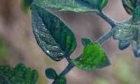 Почему синеют листья у рассады томатов