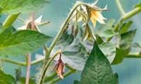 Почему опадают цветы у помидор и нет завязи