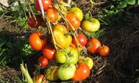 Как ускорить созревание низкорослых томатов в открытом грунте