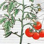 Заболевания томатов и отклонения в их росте