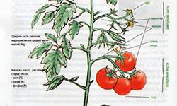 Как визуально определить заболевания томатов и отклонения в их вегетации>