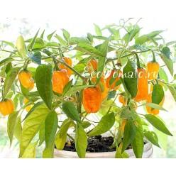 Habanero Orange Devil (Оранжевый дьявол Хабанеро)