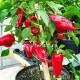 Перец сладкий Roter Augsburger (Красный Аугсбург)