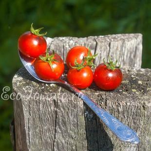 Сорт томата Blue Pitts (Голубой Питц), США