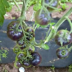 Great White Purple (Грейт вайт пурпл), США