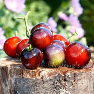 Сорт томата Indigo Rose
