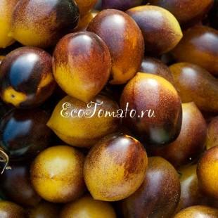Сорт томата Indigo Kumquat (Индиго кумкват), Германия