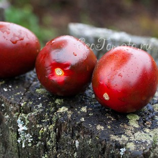 Сорт томата К 25-56
