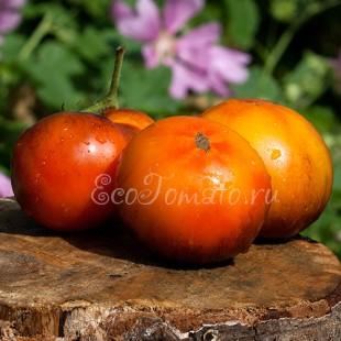 Сорт томата Lucid Gem (Яркий самоцвет), США