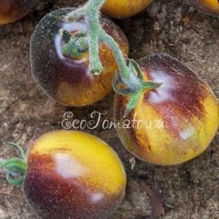 Сорт томата Woolly Kate (Мохнатый Кейт)