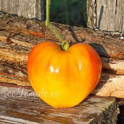 Coeur de Zebre / Heart of Zebre Apricot (Сердце зебры), Франция