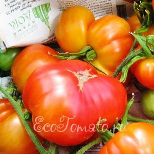 Сорт томата Золотая Медаль