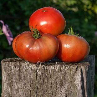 Сорт томата Cherokee Purple (Чероки пурпл, Чероки фиолетовый), США