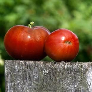 Сорт томата Morado