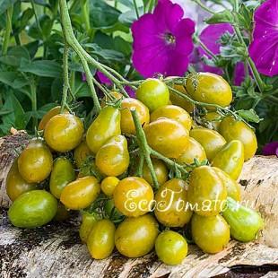 Сорт томата Amber Keyes (Янтарные клавиши), США