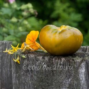 Сорт томата Болото
