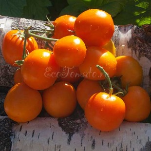 Апельсин сорт томата