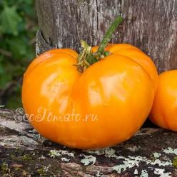 Хакас оранжевый