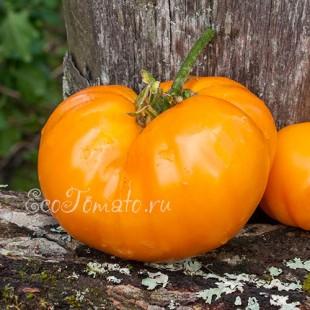 Сорт томата Хакас оранжевый