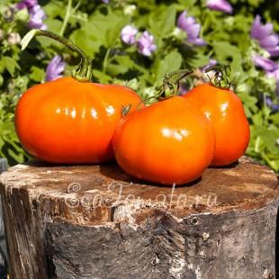 Сорт томата Трюфель оранжевый