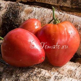 Сорт томата Бабушкино бычье сердце