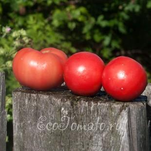 Сорт томата Банзай
