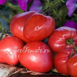 Сорт томата Бычье сердце (Минусинское)