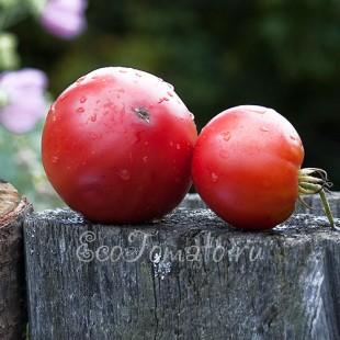 Сорт томата Бийская Роза