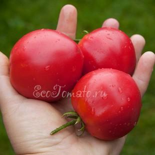 Сорт томата Буденовка закаточная