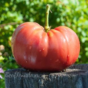 Сорт томата Cleota Pink (Клеота пинк), США