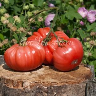 Сорт томата Giant Belgium (Гигант Бельгии), США