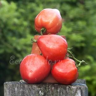 Сорт томата Гопак, Украина