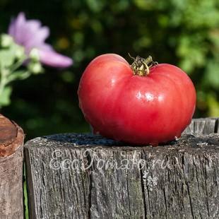 Сорт томата Хватовский розовый, Украина