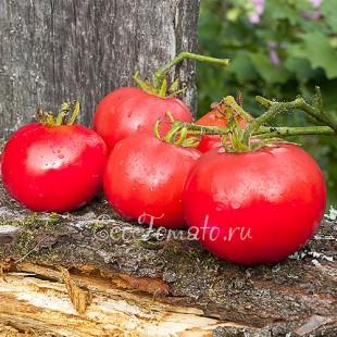 Сорт томата Кармен