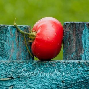 Корнеевский розовый (1 пакетик - 10 семян)