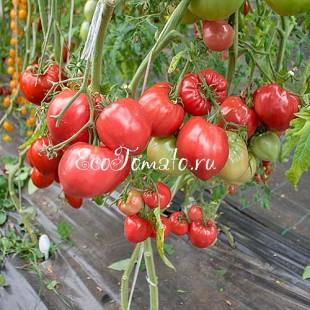 Сорт томата Kosovo (Косово)
