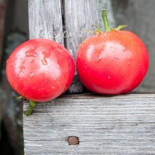 Сорт томата Louisiana All Season (Луизиана весь сезон), США