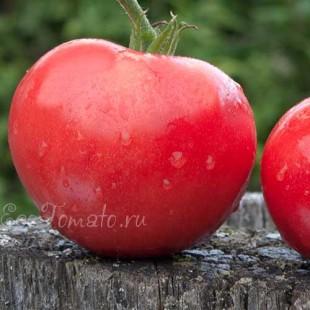 Сорт томата Минусинское воловье сердце 100 лет