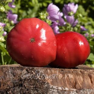 Сорт томата Мистер Анредвуд, немецкий розовый гигант