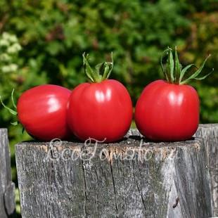 Сорт томата Обильные Маслова