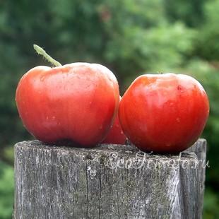 Сорт томата Отец Горио