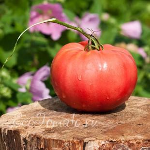 Сорт томата Sainte Colombe (Санта Коломбе), Франция