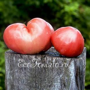 Сорт томата Сердце Кенгуру розовое