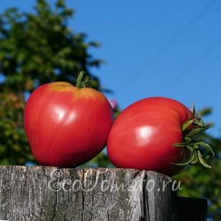 Сорт томата Сердце Буйвола