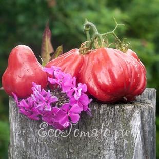 Сорт томата Тлаколула