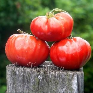 Сорт томата Вечная любовь