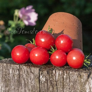 Сорт томата Виноград Розовый