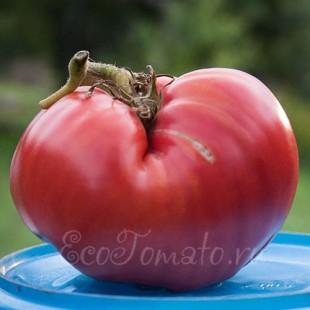 Сорт томата Лопатинские