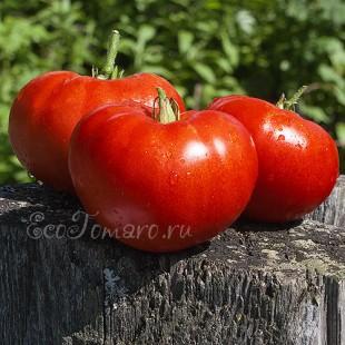 Сорт томата Арбуз