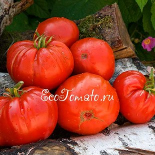 Сорт томата Ashleigh (Эшли), Македония